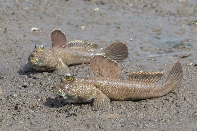 أسماك تعيش على اليابسة  خارج الماء وتمشي على الارض