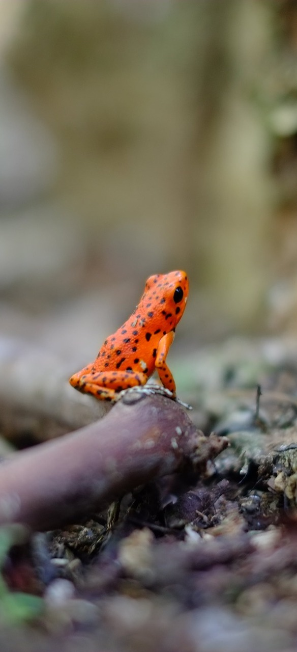 Poisonous small red frog.