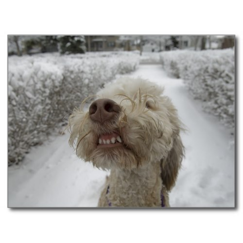 A dog snarling at the camera, outside on a snowy day | Funny Photo Postcard
