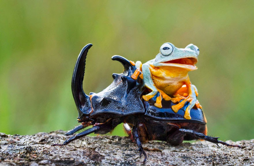 cowboy frog riding beetle animal photography-4