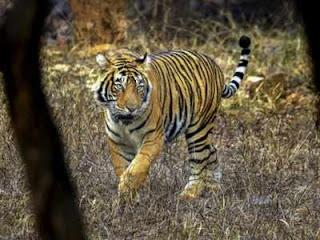 tiger-lost-in-ranthambhor