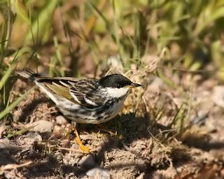 Blackpoll Warbler in Newfoundland on ground