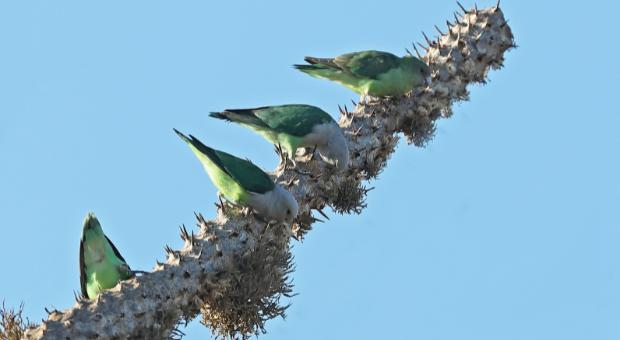 Breeding Madagascar Lovebirds