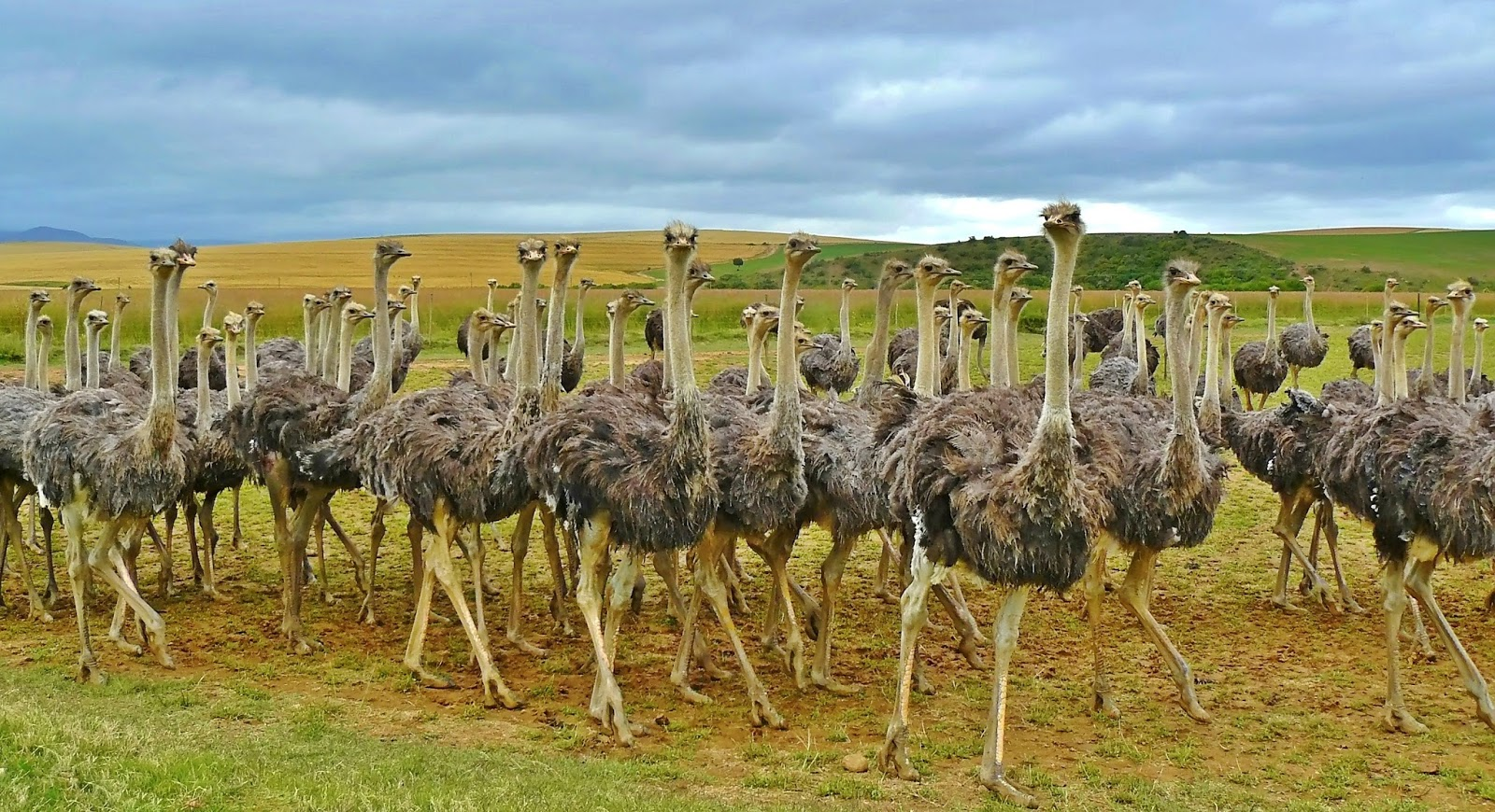 Ostriches in a farm