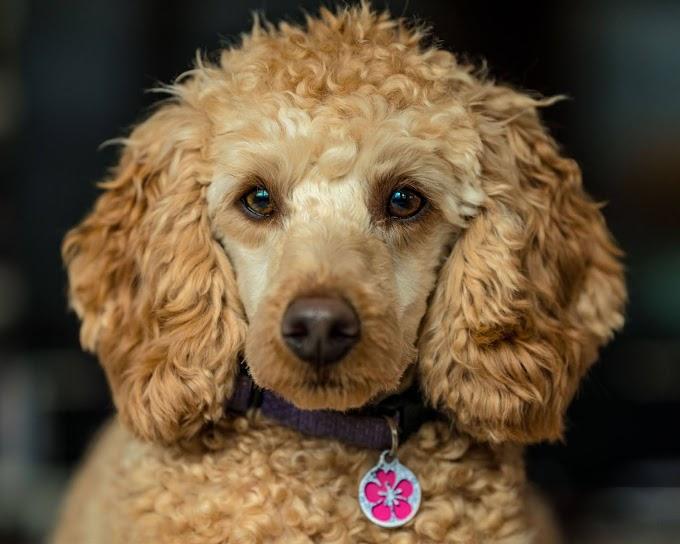 كلب البودل الذكي مع الصور