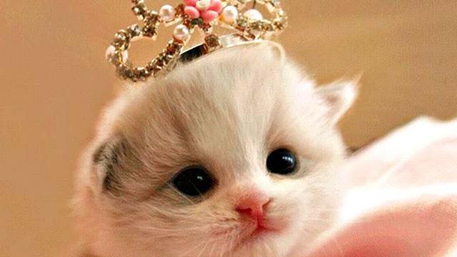Cara Mewarnai Gambar Kucing Anggora Gambarkucing