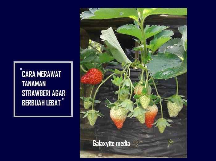 Cara Merawat Tanaman Strawberry Agar Cepat Berbuah Galaxyite Media