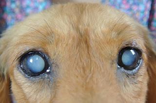 cães com catarata