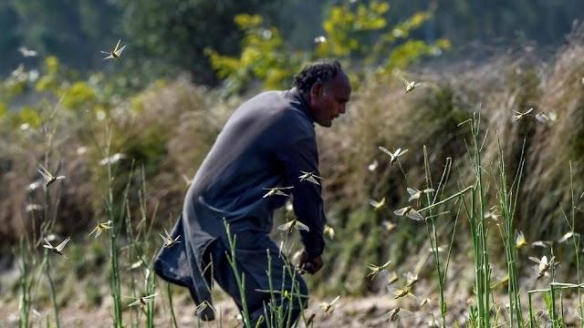 Pakistan fights to combat destructive locust plague