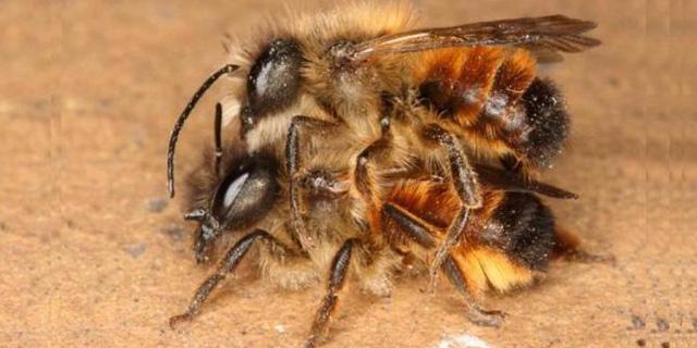 Perkawinan lebah madu