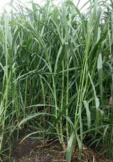 Beli bibit rumput napier pakchong Madani Farm Jogja Bantul