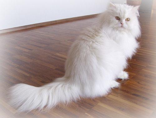 photo de chat photo d 39 un chat persan blanc aux yeux oranges. Black Bedroom Furniture Sets. Home Design Ideas