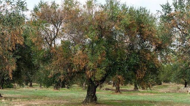 Νέα κρούσματα από το βακτήριο Xylella fastidiosa στην Πορτογαλία και στην κεντρική  Ιταλία