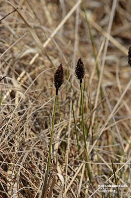 ワタスゲ ≪Cotton-Grass≫