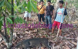 Masuk Pemukiman dan Sruduk Warga, Seekor Babi Hutan Ditembak Anggota Polsek Pardasuka