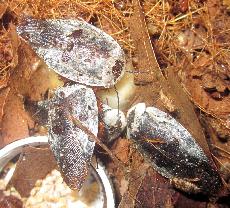 Hisserdude's Roaches - Page 2 GynacaffrorumBanana%25231