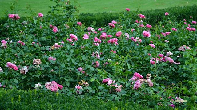 Roze rozenstruiken