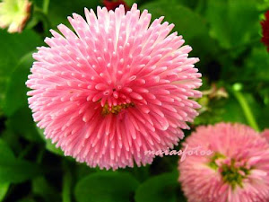 Pink pom-pom daisy close-up