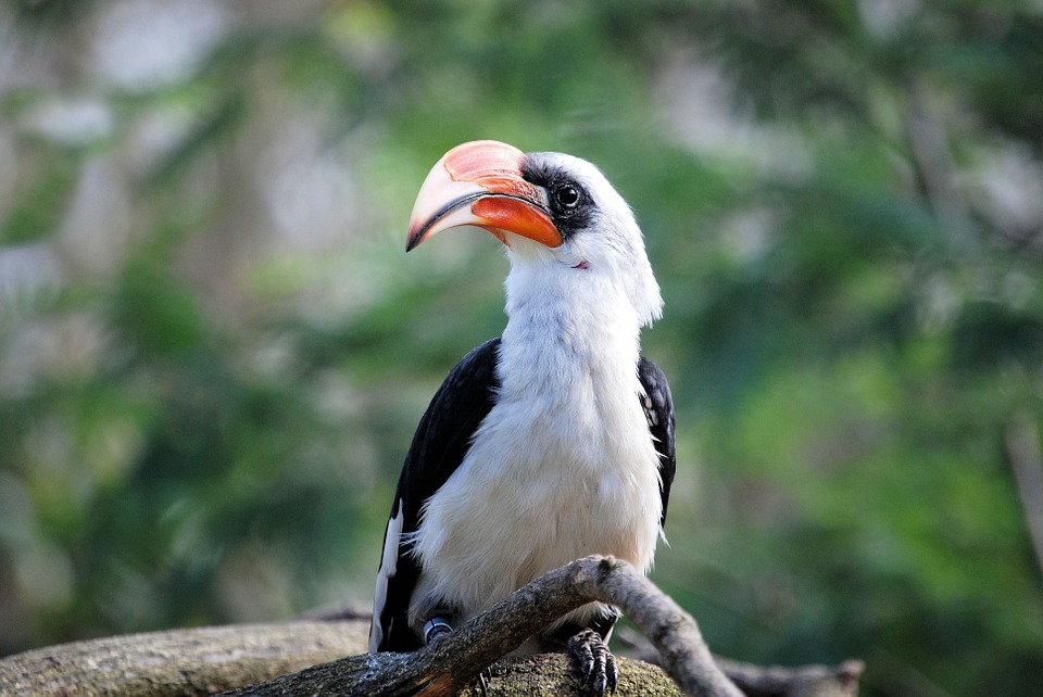 हॉर्नबिल (धनेश पक्षी) पक्षी के बारे में 15 रोचक तथ्य | Amazing Facts about Hornbill in Hindi