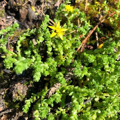 keltamaksaruohomatto ja yksi keltainen kukka