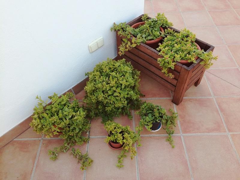 Foto: Le mie piante di Aptenia cordifolia