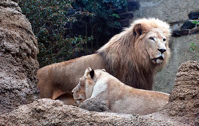 Klasifikasi Pantera leo krugeri