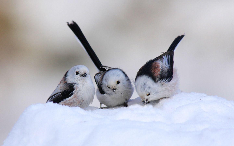 hd birds of paradise wallpapers for mac. Birds, Mac, Paradise