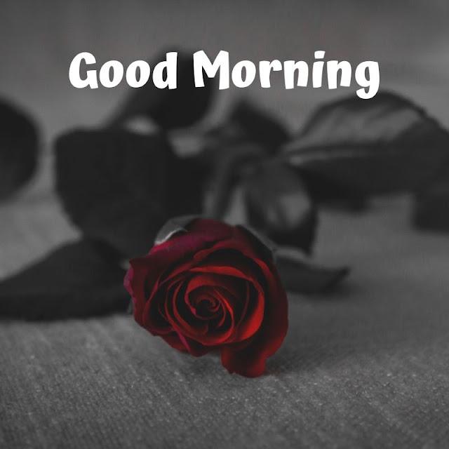 good morning romantic rose, good morning rose images download, good morning red rose hd wallpaper, good morning single rose, good morning flowers with messages, good morning images with flowers hd