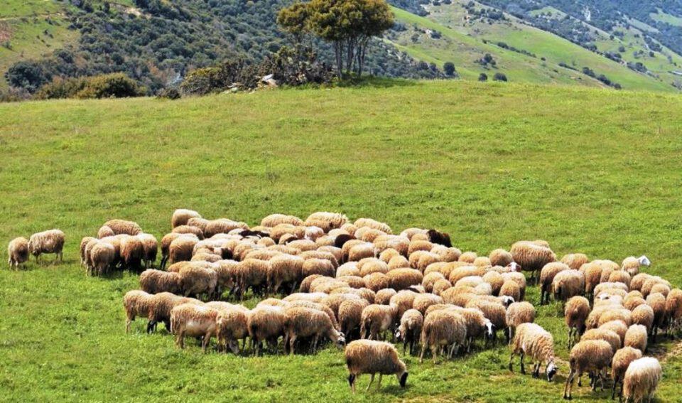 Ξάνθη: Ζεστό χρήμα σε κτηνοτρόφους από ενισχύσεις και αποζημιώσεις