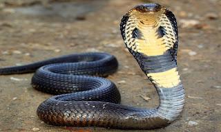 Kobra Yılanı Özellikleri