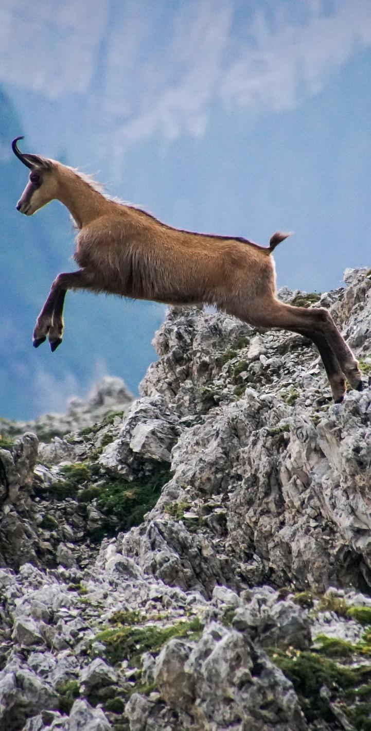 Amazing chamois jump.