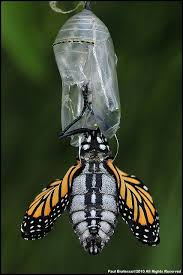 Butterfly hatching from Chrysalis