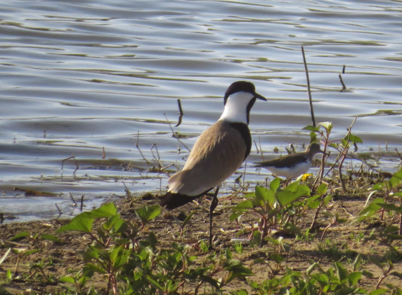 Spur-winged lapwing and Common sandpiper behind