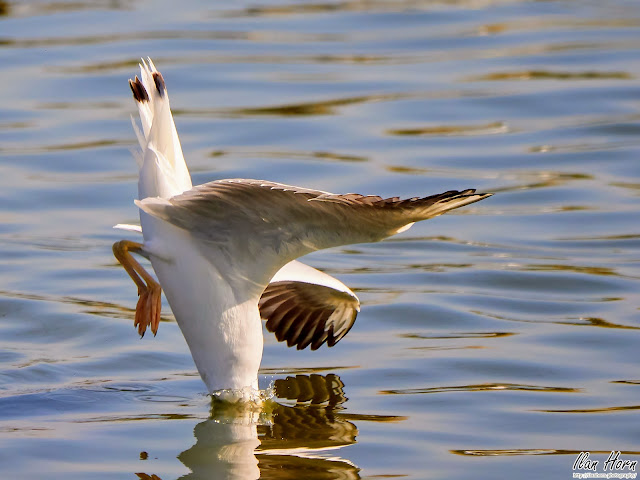 Gull Piercing the Water
