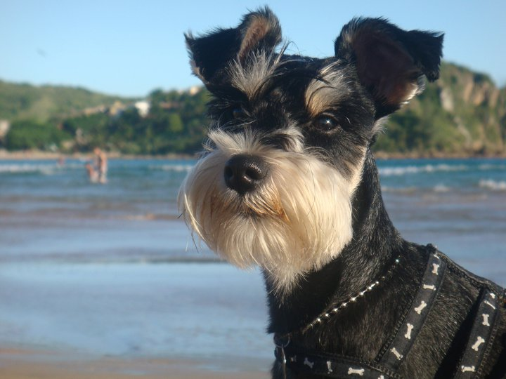 Cute Miniature Schnauzer Pet Dogs Fun Animals Wiki