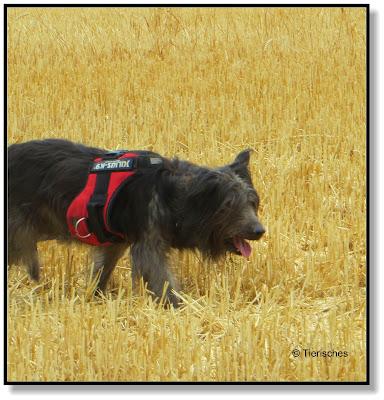 ein Hundegeschirr taugt nicht zum buddeln
