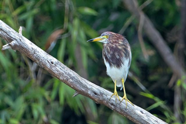 Chinese Pond-Heron - Image by Aseem Kothiala