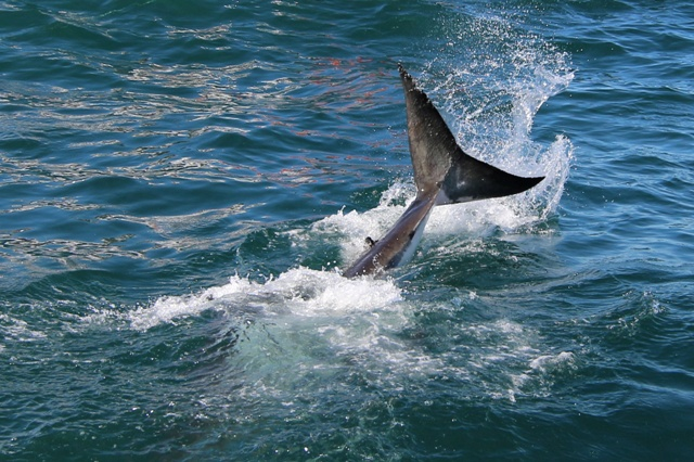 La cola de ballena se nos resistio pero la de tiburón fue posible