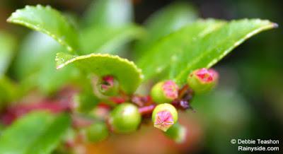 Pollinated Vaccinium berries beginning to form.