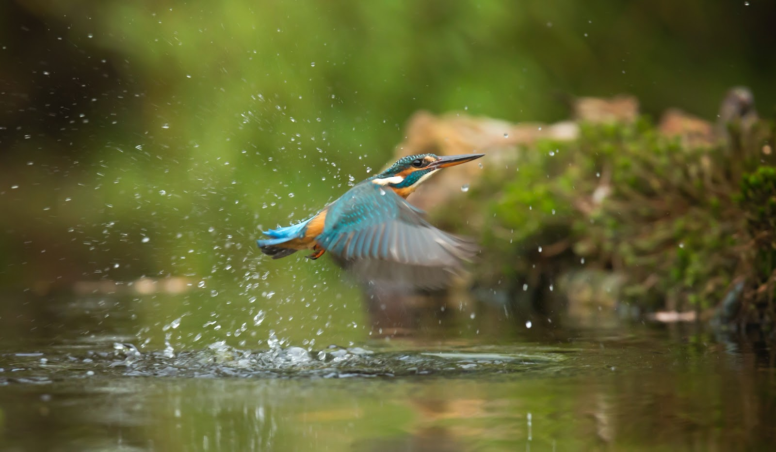 photo-of-common-kingfisher-flying-above-river-birds-pictures