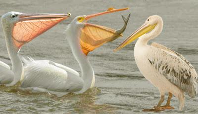 Pelican, Pelican bird,গগণবেড় বা পেলিক্যান