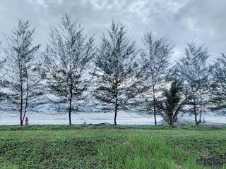 Pohon cemara yang berjejer indah saat senja tiba