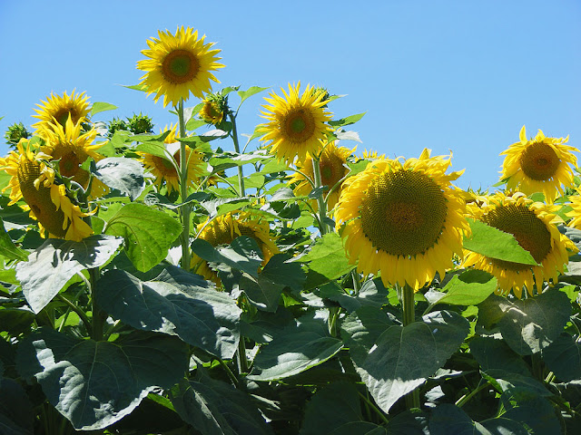 Sunflowers. Touraine Loire Valley. France. Photo by Susan Walter.