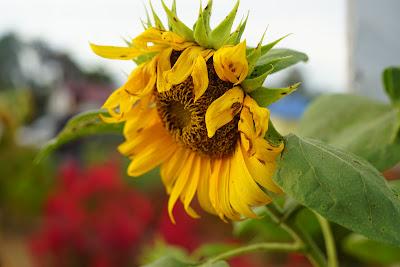Bunga matahariRajati Flower Garden