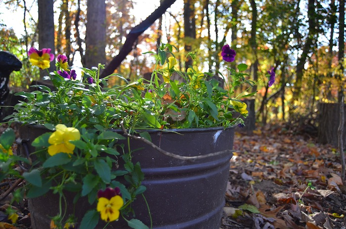 Pansies in Fall at A Nest for All Seasons