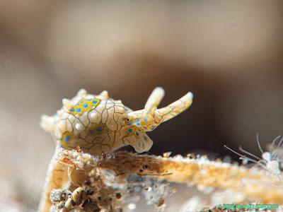 Macro 微距 水攝 underwater photography em1mark2 潛水 diving