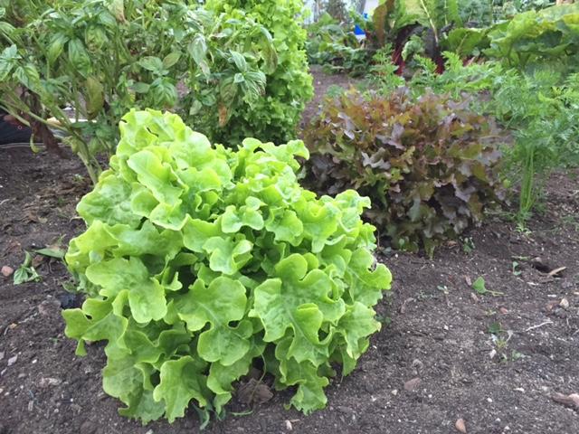 lettuce-garden-california