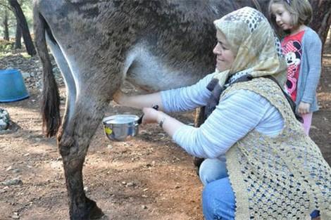 """أسرة تركية تجني مورد رزق من """"حليب الحمير"""""""