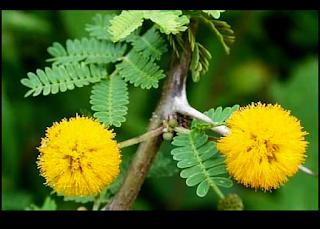 बबूल पेड़ के फायदे