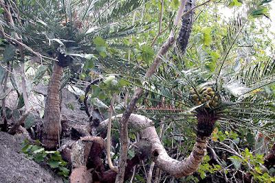 ปรงปราณบุรี Cycas pranburiensis